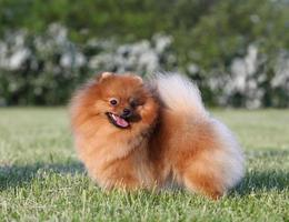 Pomeranian spitz in the park