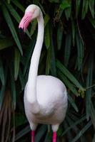 pájaro flamenco foto