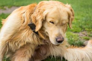 Golden retriever adulto rascarse las pulgas foto