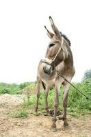 burro en los campos