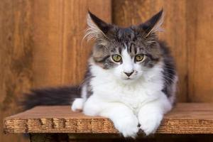 Young Maine Coon on wooden board
