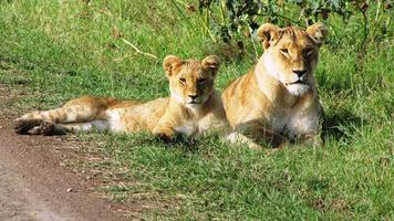 Lion cubs in Masai Mara