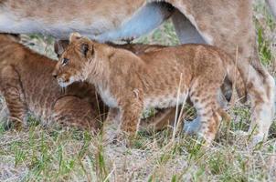 leeuw in Kenia