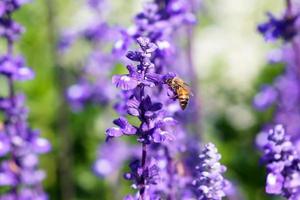 pequeña abeja disfruta con lavanda foto