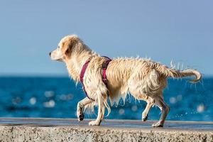 Golden Retriever dog enjoying summer photo