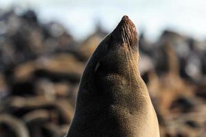 Aproveite o sol! capa de pele de foca