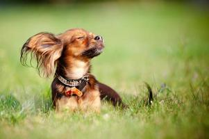 little red dog enjoying the sun