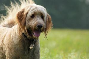 Goldendoodle Enjoying a Walk on a Sunny Day.