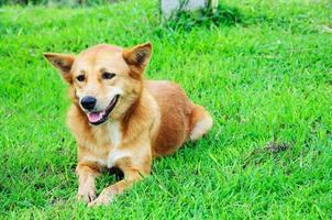 de hond genieten op gras in de natuur (selectieve aandacht)