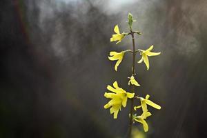 Forsythia, in spring