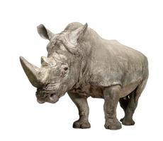 White Rhinoceros ( +/- 10 years)