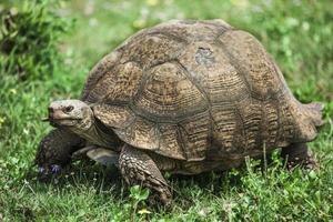 Leopard tortoise. photo