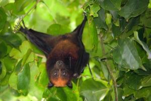 murciélago zorro volador foto