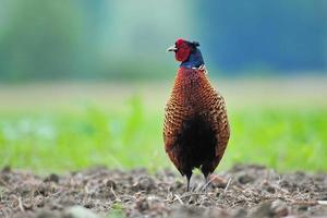 Wild pheasant photo
