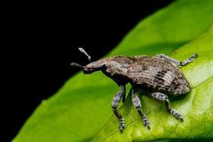 beetle mating on green leaf