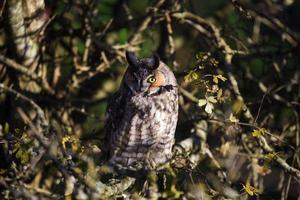 long eared owl photo
