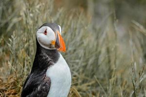 papagaio-do-mar atlântico
