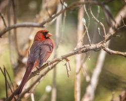 cardenal foto
