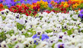 Colorful Pansy Flowers on Flower Bed photo