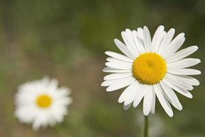 Daisies photo