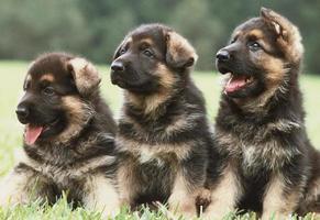 três filhotes de pastor alemão