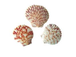 drie geschulpte schelp