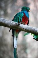 un raro pájaro quetzal de pecho rojo foto