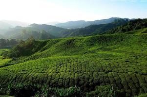 campos de plantaciones de té en las colinas