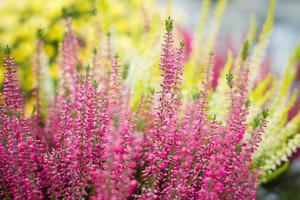 Heather flowers