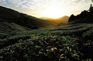 campos de plantaciones de té al amanecer