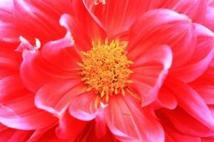 Dahlia flower photo
