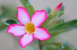 Chuanchuen flowers