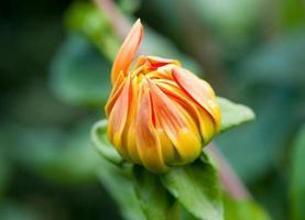Dahila flower