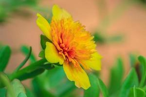 Portulaca flowers photo