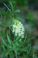 Buckbrush flowers