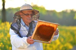 experienced senior apiarist working in the blooming rapeseed field photo