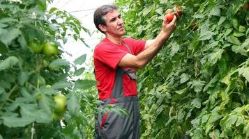 Organic Farmer Harvesting Tomatoes photo