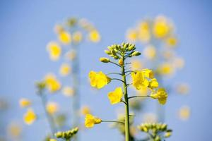 Rapeseed plants photo