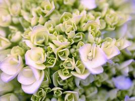 flor de hortensia foto