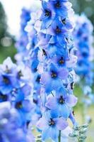 flor delphinium foto