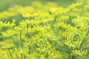 Dills flowering