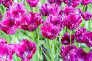 flores de amsterdam foto
