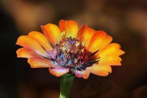 flor tropical cosmos naranja