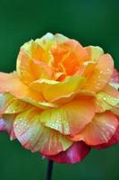Single orange tea rose photo
