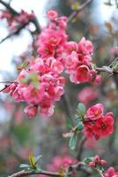 Flowering quince photo