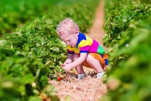 Sweet child picking fresh strawberry on a farm
