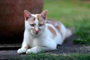 Young white and red cat laying down in the garden