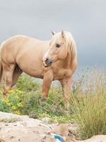 palomino stallion of quarterhorse breed. photo