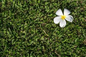 frangipani (plumeria) photo