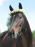portrait of beautiful mare with daisy